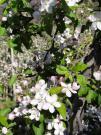 Südtirol - Apfelblüte
