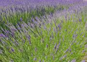 Provence - Lavendel