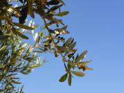 Provence - Olivenbaum